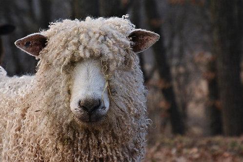 Curly Locks Photo | Cotswold Sheep Wall Art