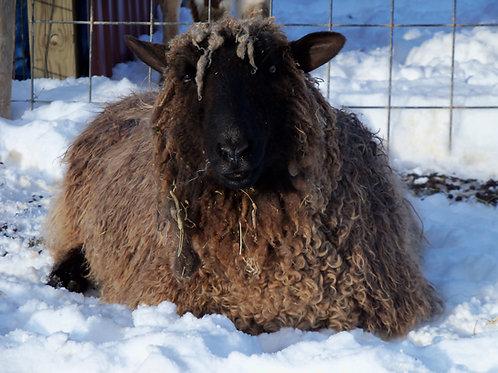 Sponsor a Sheep | Surprise