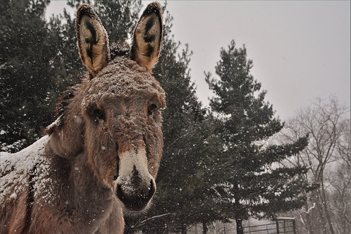 Winter snow with donkey