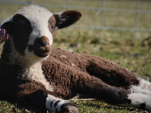 Sponsor a Sheep | Mabel