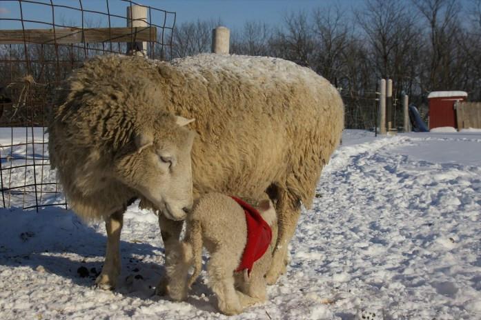 lamb with coat