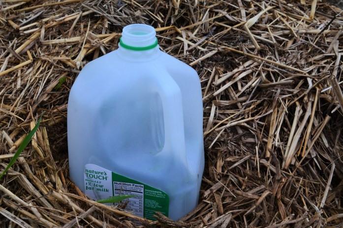 Milk jug greenhouse in garden