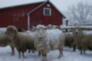 Spinning Fiber | Winter Sheep