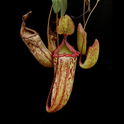 Nepenthes sibuyanensis hybrid