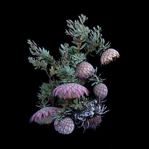 Protea sulphurea Full Cycle