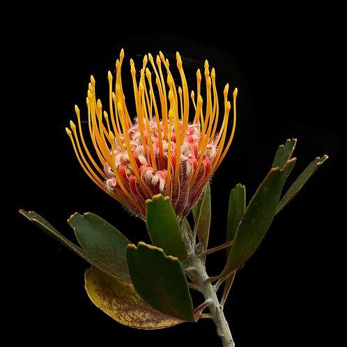 Leucospermum cordifolium A2