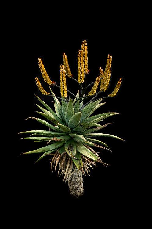 Aloe ferox 2