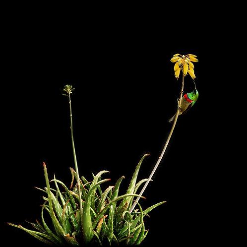 Sunbird Lemondrop Aloe