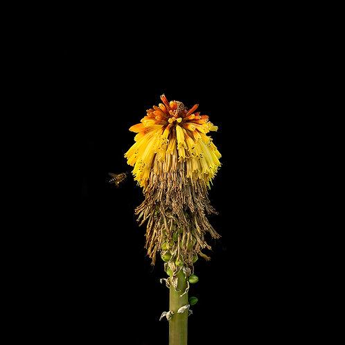 Kniphofia hybrid