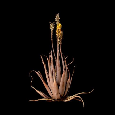 Aloe vera 2.jpg