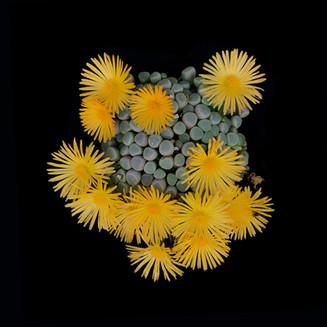 Fenestraria rhopalophylla 30x30.jpg
