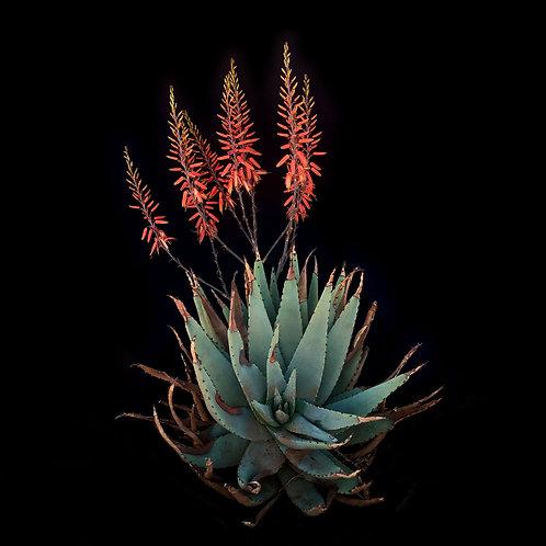 Wild Aloe Hybrid
