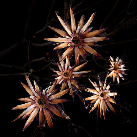 Protea lepidocarpodendron 50X50.jpg