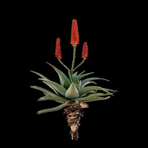 Aloe africana hybrid