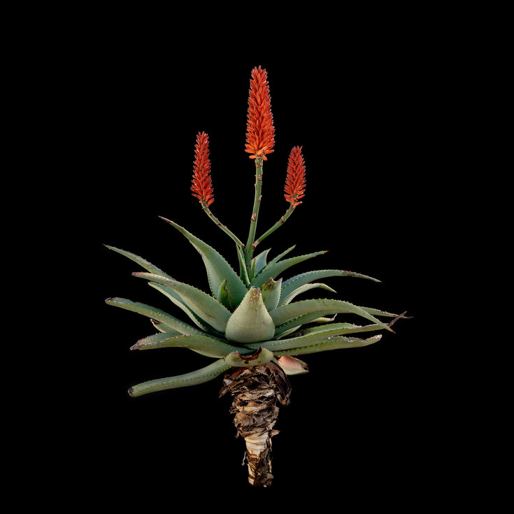 Aloe africana hybrid 50 x 50.jpg