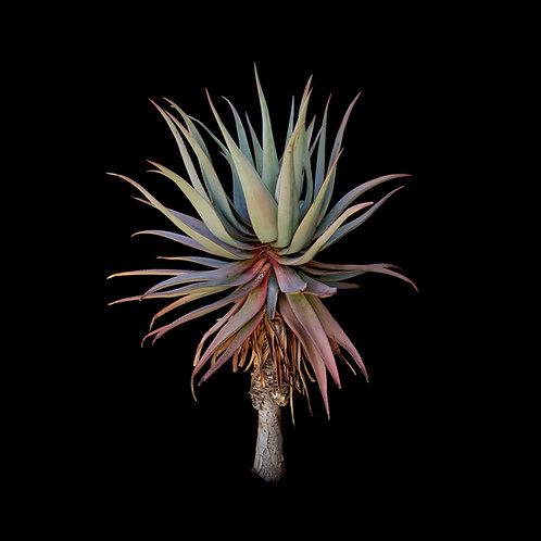 Aloe comosa