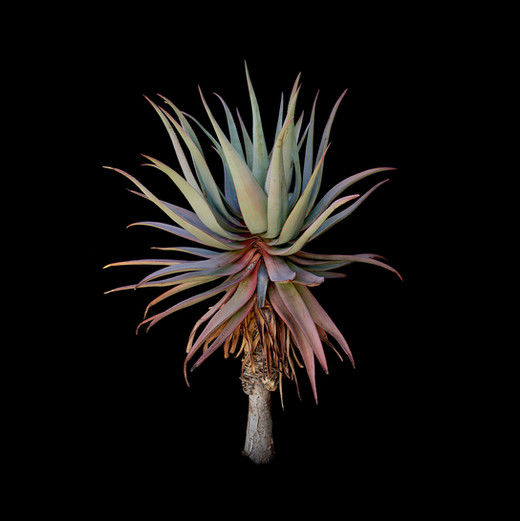Aloe comosa.jpg
