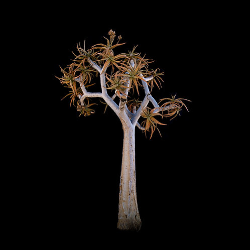 Aloidendron dichotomum (Orange River) 2