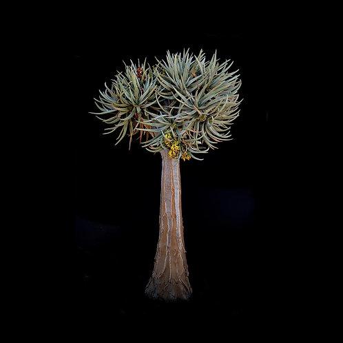 Aloidendron dichotomum Enjo