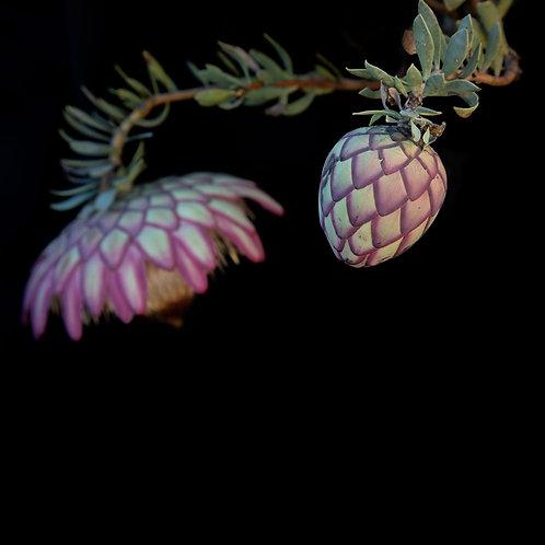 Protea sulphurea focus play