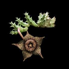 Orbea variegata-5x5-.jpg