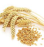 wheat seed.jpeg