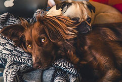A Brown retriever dog and a pug dog lay together on a pile of blankets.