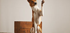 A brown and white dog giving a high five.