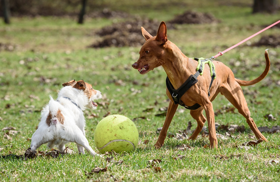 Pharaoh Hound dog attacks small Jack Rus