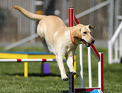 A Yellow Labradore jumps over a hurdle during a dog obediance competition.