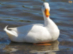 5-duck-breeds-that-are-great-to-keep-in-