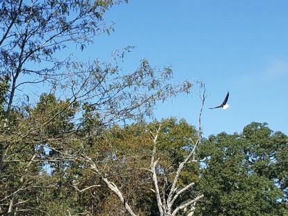 Day 35: Bald Eagle Day