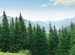 sustainability-fir-trees.jpg