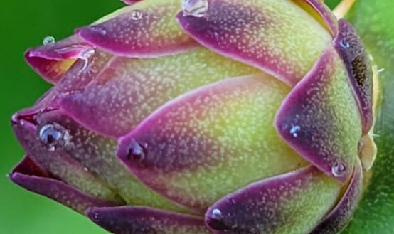 Dragonfruit - Too Pretty to Eat?