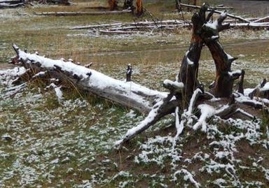 YS snow on tree