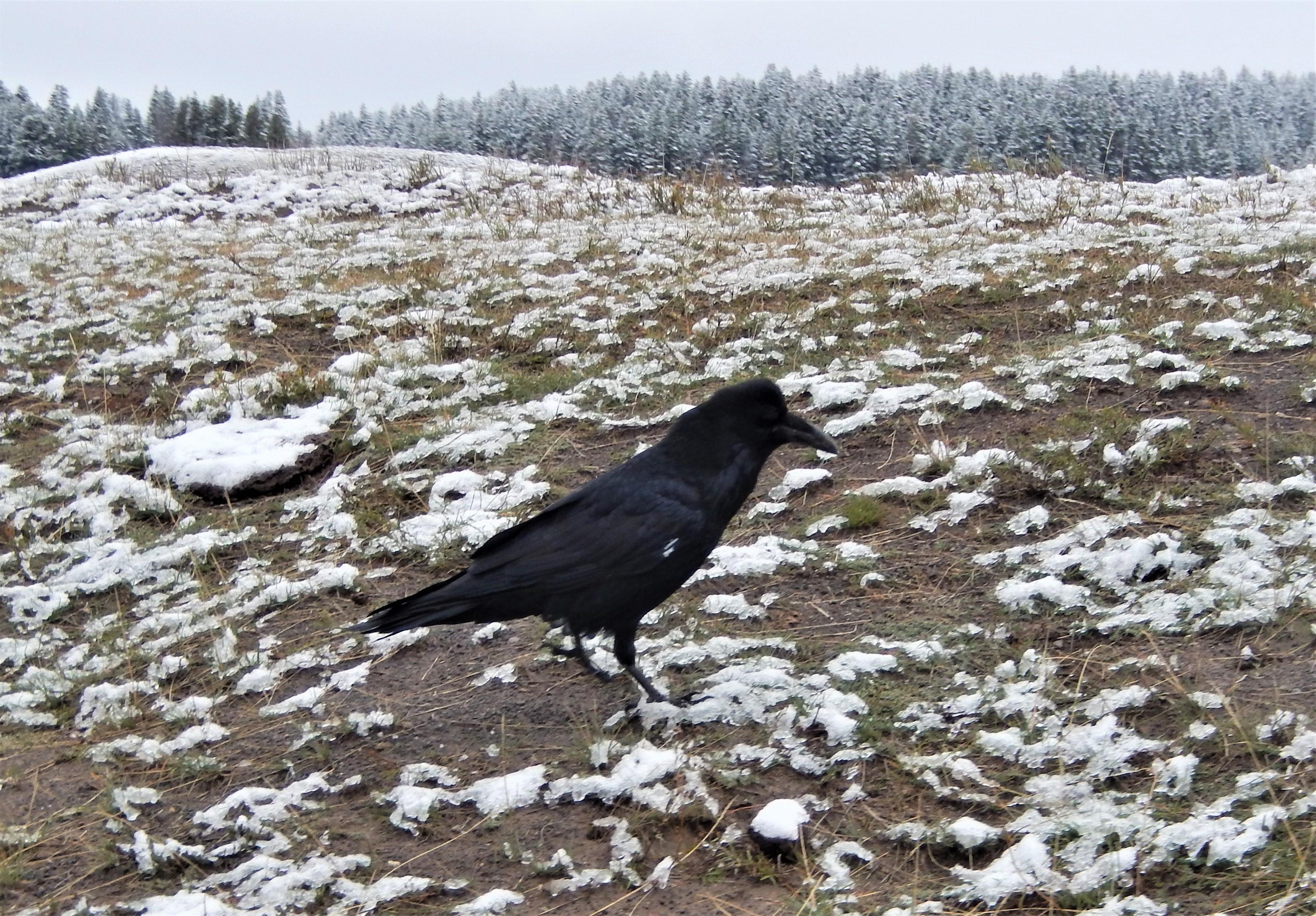 Animal Raven