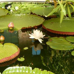 Waterlily in pond.JPG
