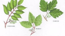 Poison Ivy, Oak and Sumac: Care instructions