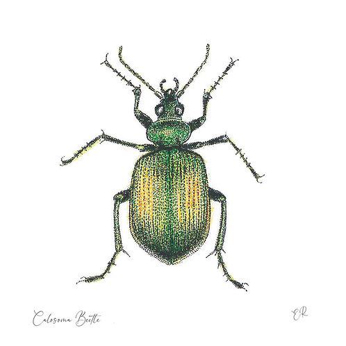 Calosoma Beetle 11cm x 11cm