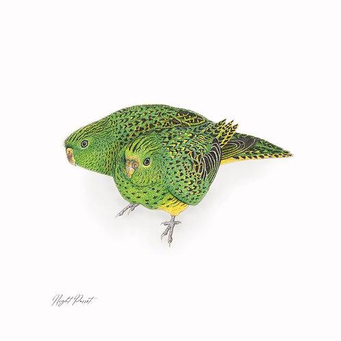 Night Parrot 35 x 35