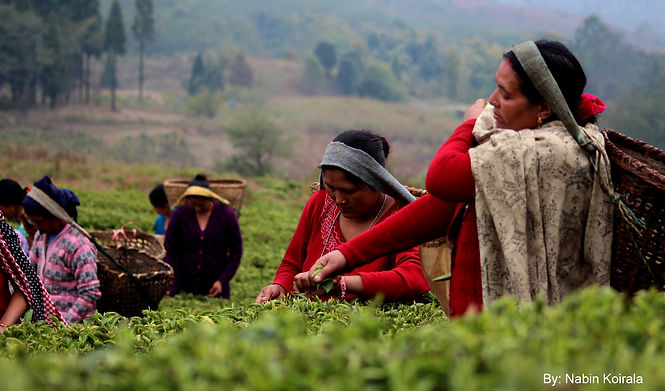 Teafresho | Tea Farm in Nepal | Mountain Tea | Specialty Tea | Himalayan Grown Organc Tea