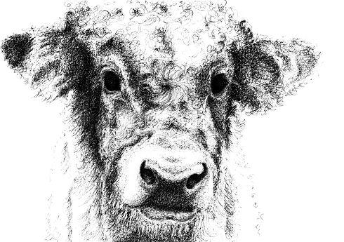 Cow_adjustedhead600dpi.jpg