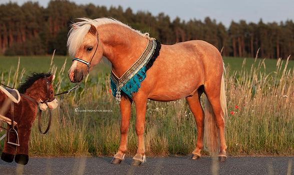 AMHA stallion