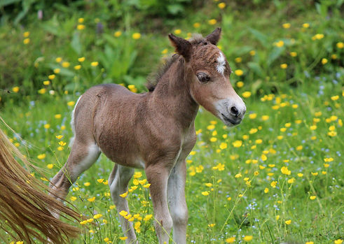 american miniature filly