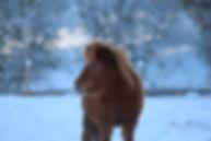 sorrel amha foal dark chestnut