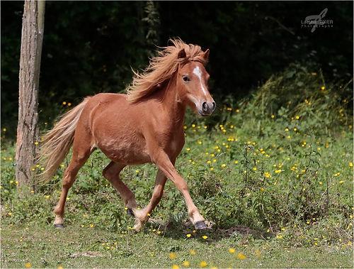 AMHA mare