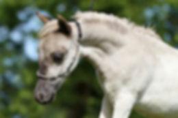 cheval silver dapple