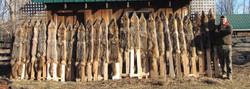 End of Season Coyotes