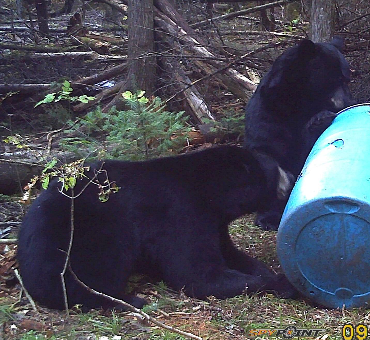 Southern Ontario Bears