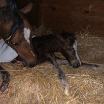 It's a.... FILLY!! Smallside Fourever X Lapinwood Oodalottie !! We are SO excited